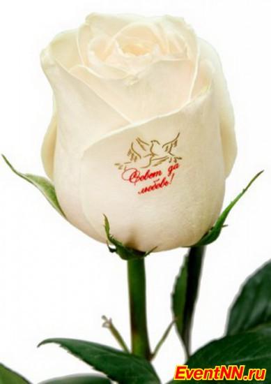 Картинки с белыми розами и надписями для самой, картинки